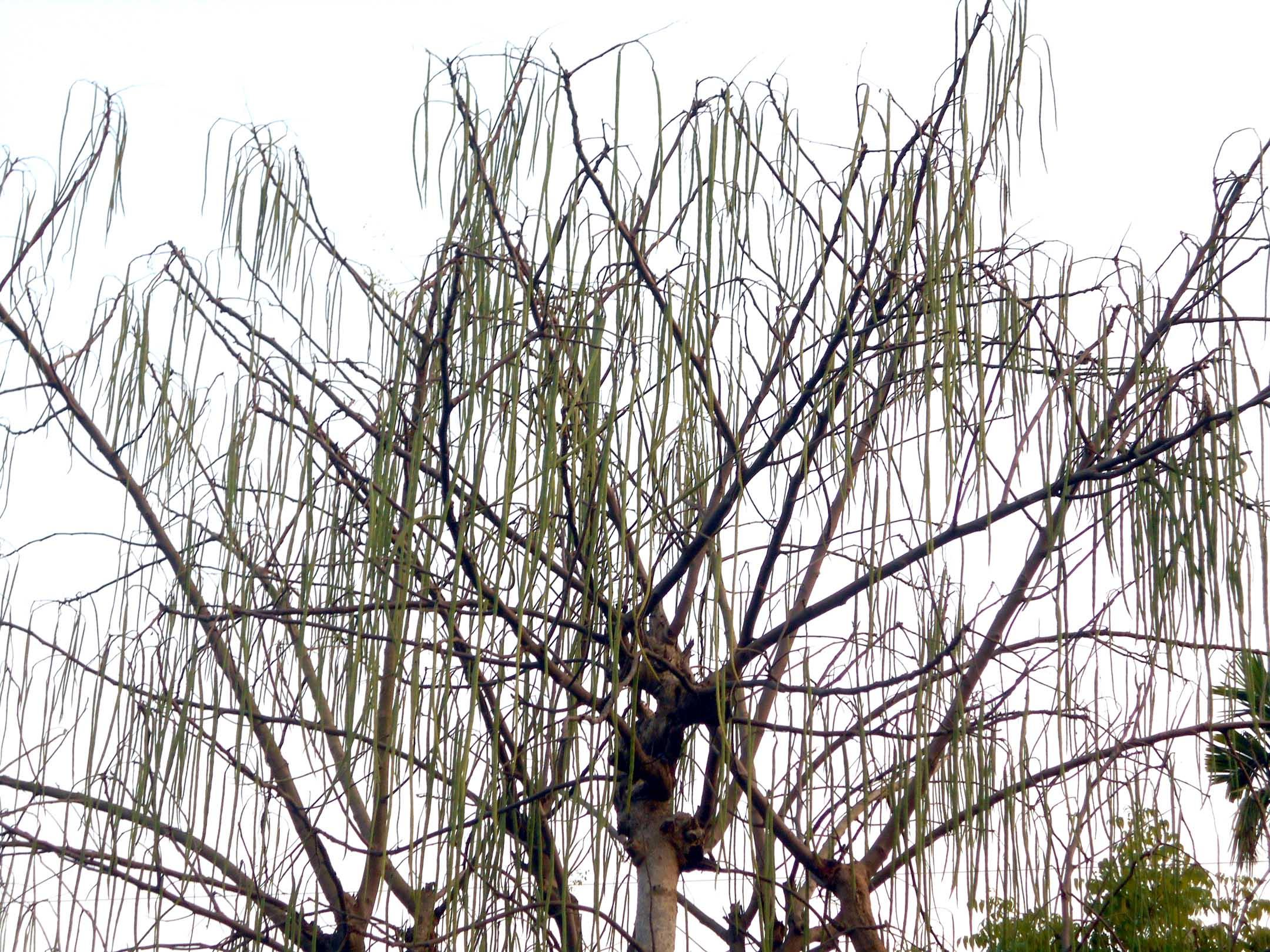 পাইকগাছায় সজনের বাম্পার ফলন