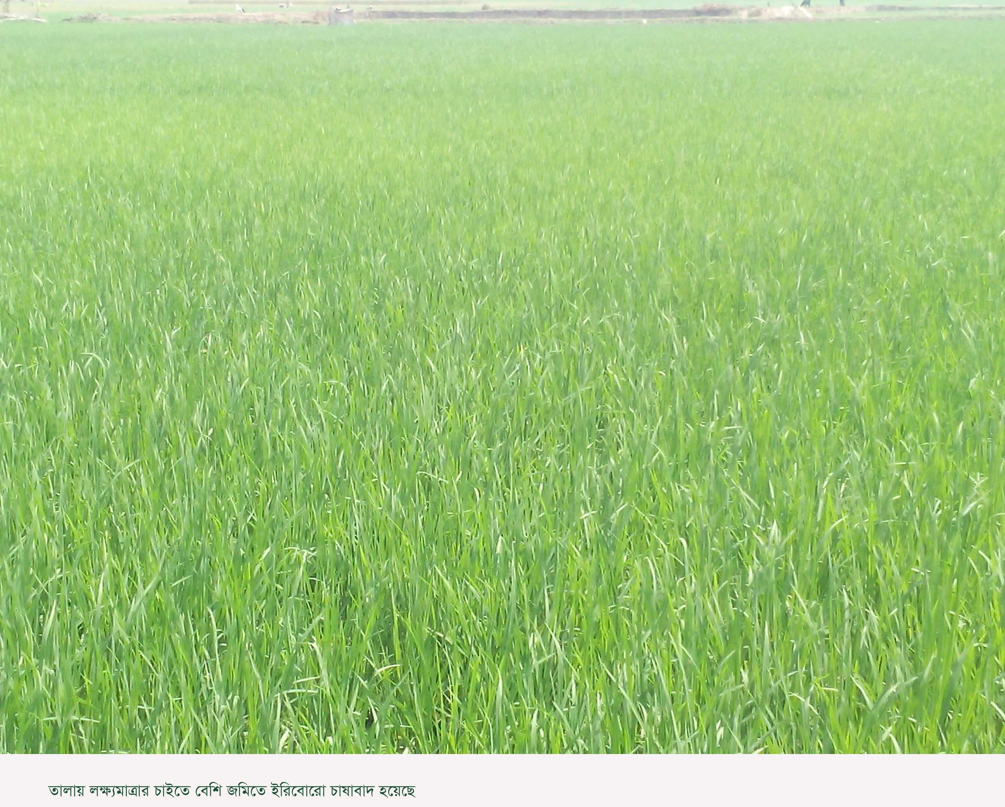 বাম্পার ফলনের সম্ভবনা: তালায় লক্ষ্য মাত্রার চাইতে বেশী জমিতে ইরি বোরো চাষাবাদ