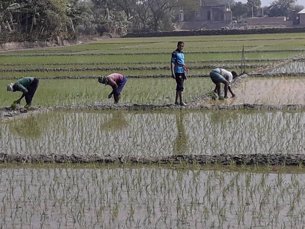 শ্যামনগরে বোরো চাষে কোমরবেঁধে মাঠে নেমেছেন কৃষকরা