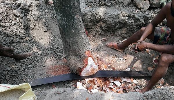 কৈখালীতে রাস্তার পাশের সরকারি গাছ কেটে বিক্রি: স্থানীয় প্রশাসন নিরব