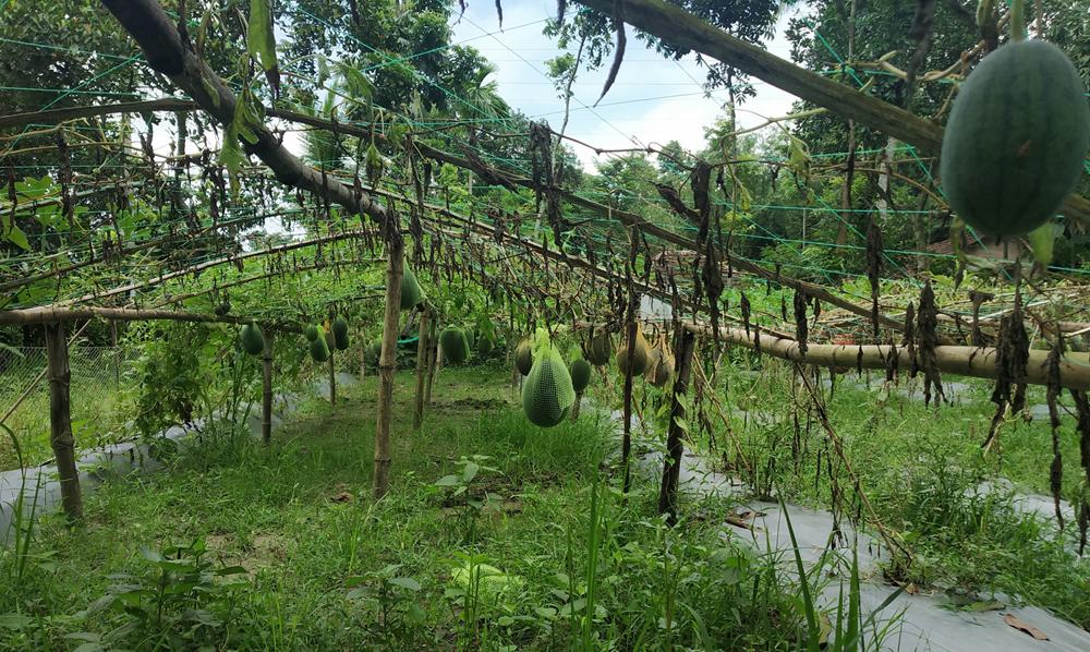 জেলায় প্রথমবারের মতো ব্ল্যাক বেবি তরমুজ চাষে সাফল্য (ভিডিওসহ)
